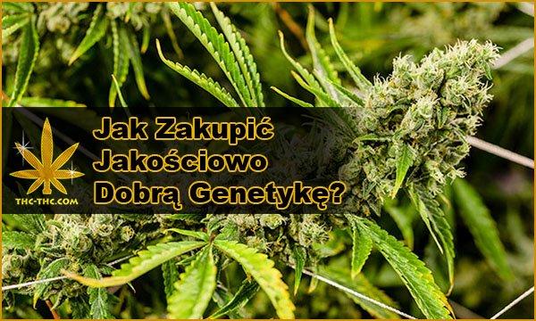 Dobra, Genetyka, Nasion Marihuany, Konopi