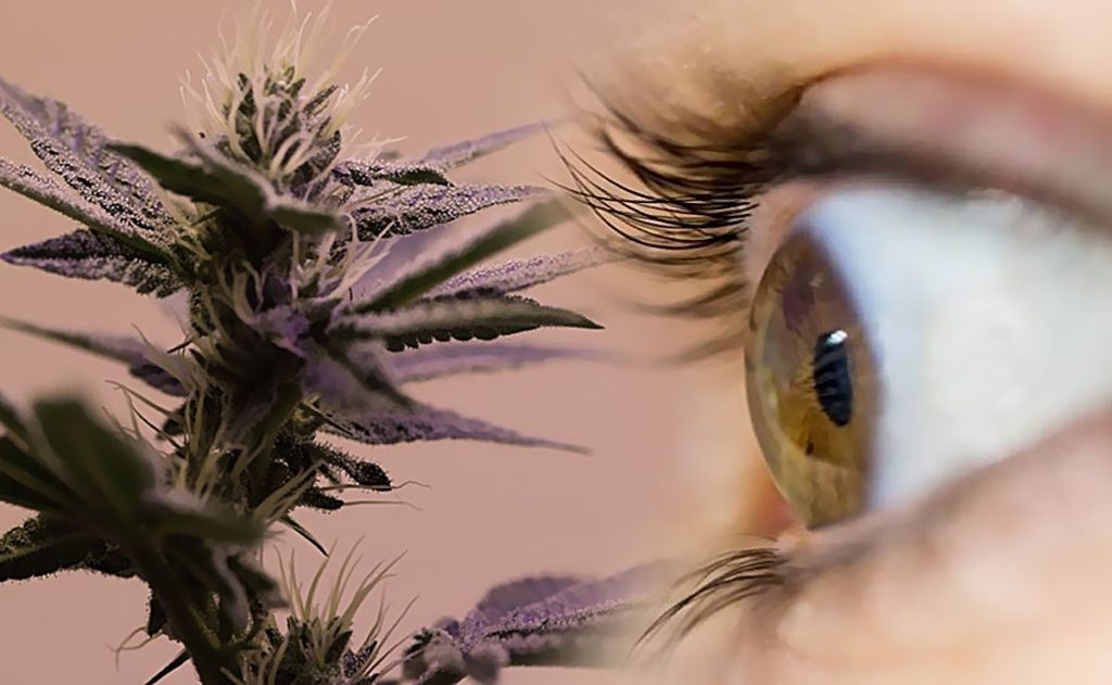 Jaskra, Korzystanie, Korzystania, Kluczowe, Czynniki, Cannabis, Marihuana Medyczna, Lecznicza