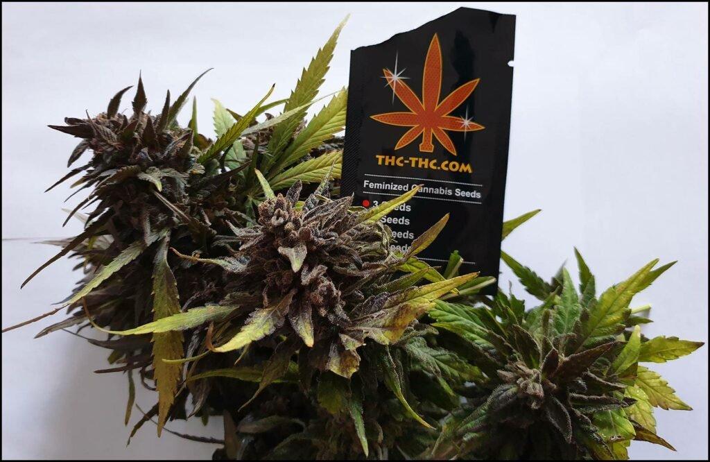 gdzie kupić swoje nasiona marihuany thc